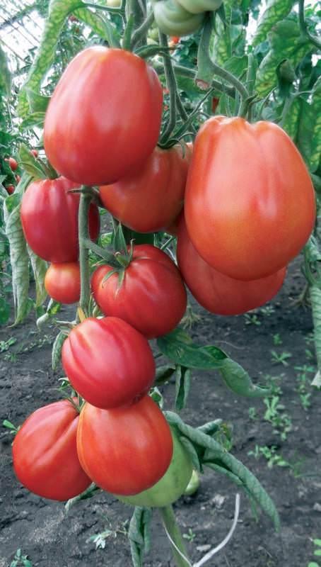 Отборные томаты «сто пудов»: фото, характеристика и описание сорта, фото плодов-помидоров