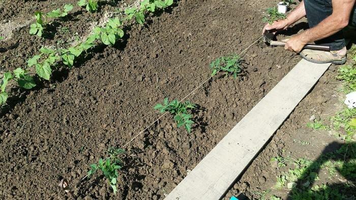 На каком расстоянии сажать помидоры в открытом грунте и в теплице? на каком расстоянии сажать низкорослые и высокие помидоры