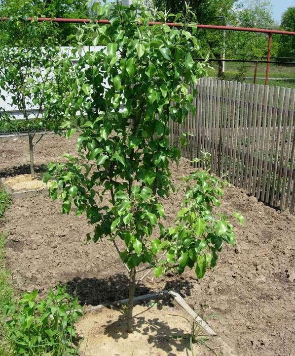 Как лучше размножить грушу, правила посадки и выращивания