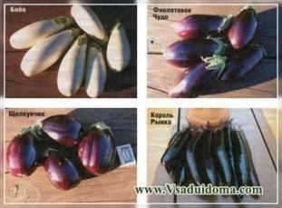 Как вырастить баклажаны на урале: когда садить на рассаду, примерные сроки всходов, советы по выращиванию в теплице