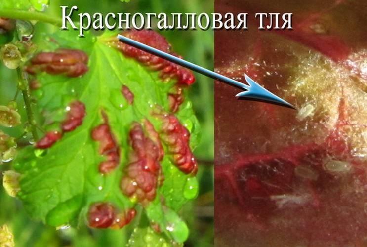 Красные пятна на листьях смородины: почему появляются и как избавиться