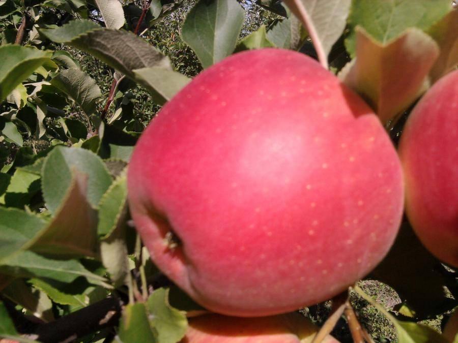 Лидер урожаев — яблоня сорта чемпион