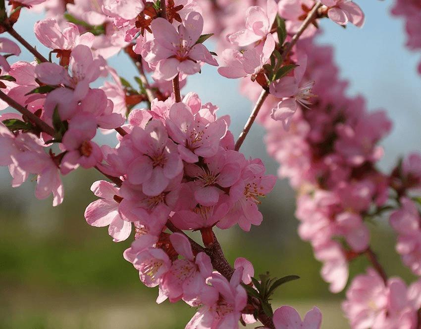 Когда в крыму наступает период цветения миндаля