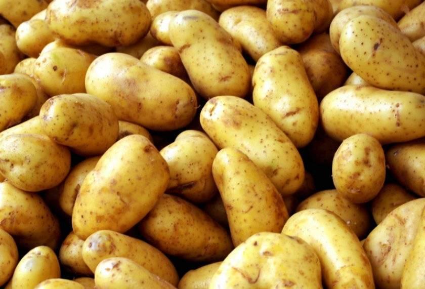 Востребованный и любимый: сорт картофеля зорачка