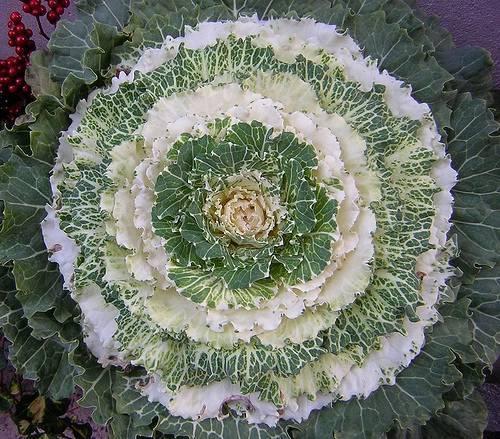 Декоративная капуста, выращивание и уход
