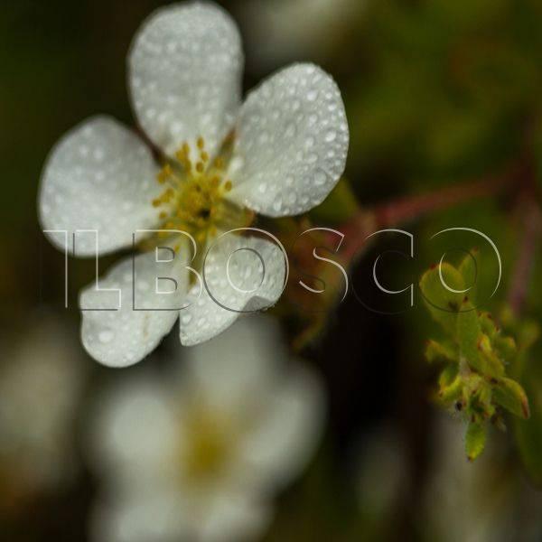 Особенности и описание кустарниковой лапчатки абботсвуд, посадка и уход