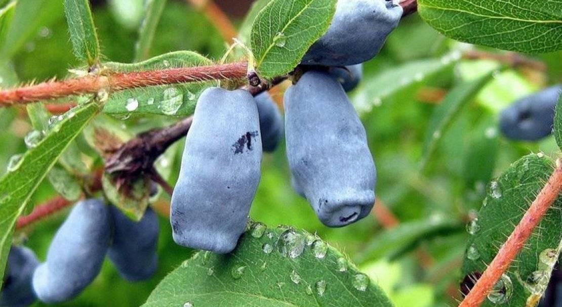 Жимолость съедобная соловей — основные характеристики