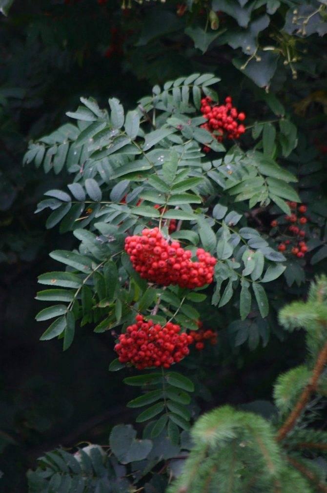 Рябина гранатная – неприхотливый сорт с крупными ягодами без горечи
