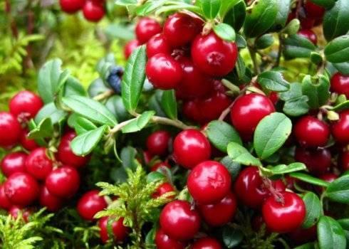 Листья брусники: какими лечебными свойствами обладает брусничный лист, как его заваривать и как принимать