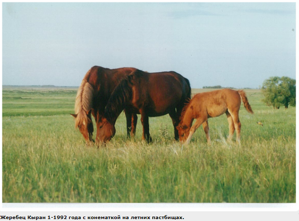 Казахская порода лошадей(адаев и джабе)