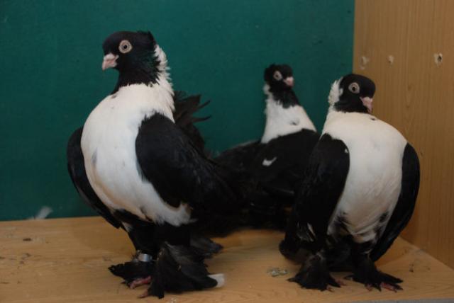 Основные характеристики статных голубей — 4 лапки