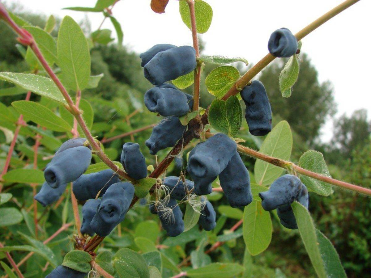 Характеристика и особенности выращивания жимолости сластёна