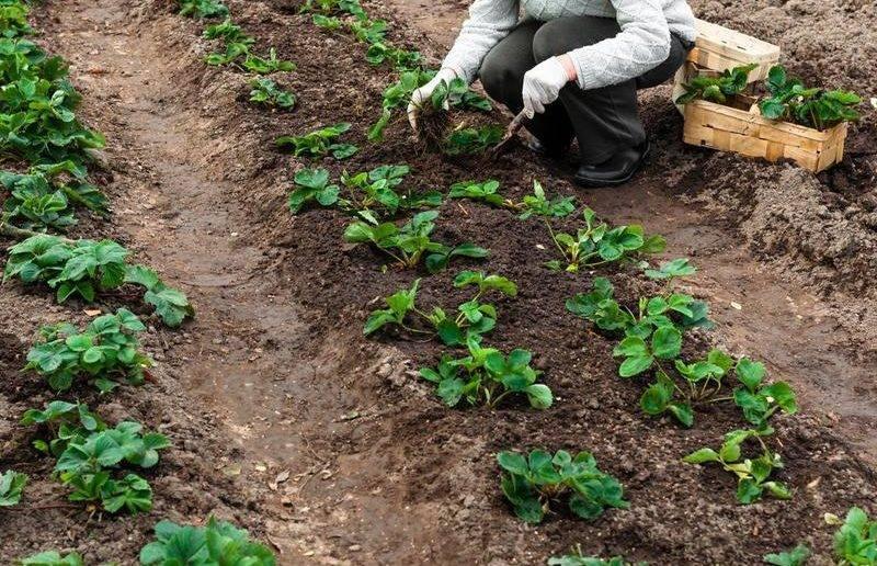 Подготовка почвы и формирование грядок для клубники весной