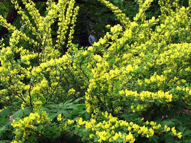 Ракитник – виды и сорта, посадка и уход в открытом грунте
