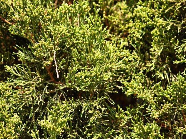 Можжевельник голд стар: описание сорта и разновидностей