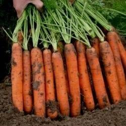 Морковь наполи f1: отзывы, фото, урожайность и характеристика гибрида f1, описание сорта и рекомендации по выращиванию и хранению