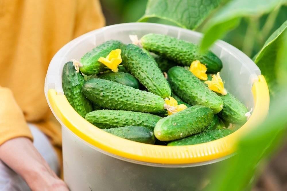 Огурцы теща и зятек: как выращивать, ухаживать, отзывы и особенности