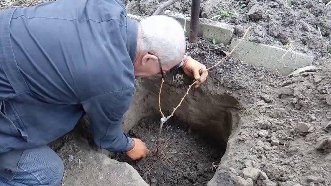 Как пересадить виноград весной или осенью на новое место (видео)
