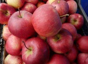 Яблоня «вишневое»: описание сорта, фото и отзывы