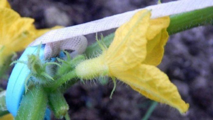 Пустоцвет на огурцах, что делать в домашних условиях?