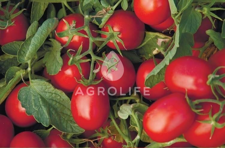 Томат астерикс f1: характеристика и описание сорта, отзывы, фото, урожайность