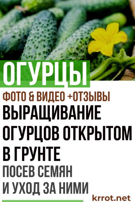 Как посадить огурцы в открытый грунт семенами