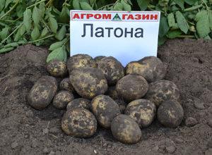 Латона — все про сорт картофеля: достоинства и недостатки