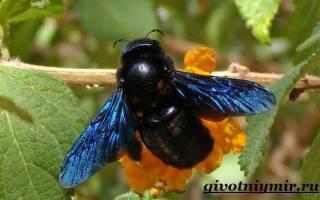 Пчела плотник  фото, описание, ареал, питание, враги