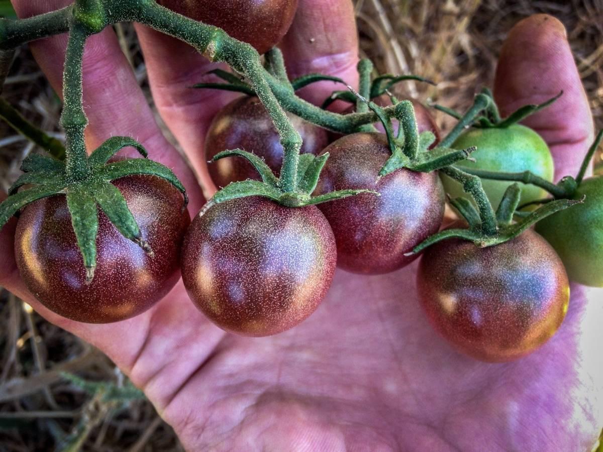 """Помидоры """"кумато"""": описание сорта, особенности выращивания, фото черного томата"""