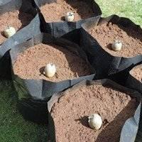 Выращивание картофеля оригинальным способом прямо в мешках