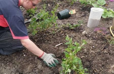 Уход за крыжовником весной: обрезка, обработка, удобрение