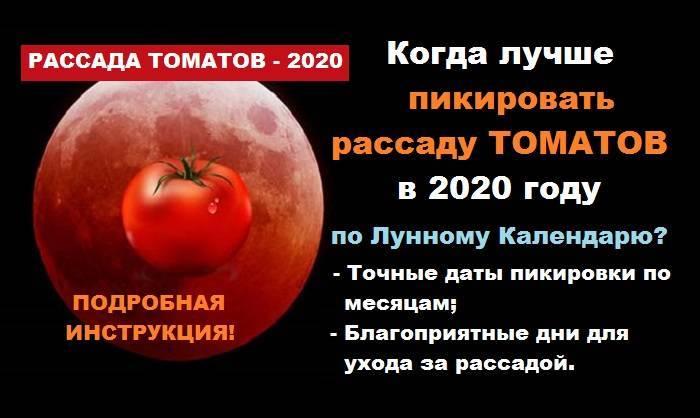 Через сколько дней пикировать помидоры после всходов – определяем точную дату