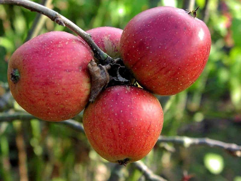 Яблоня заветное описание сорта фото отзывы