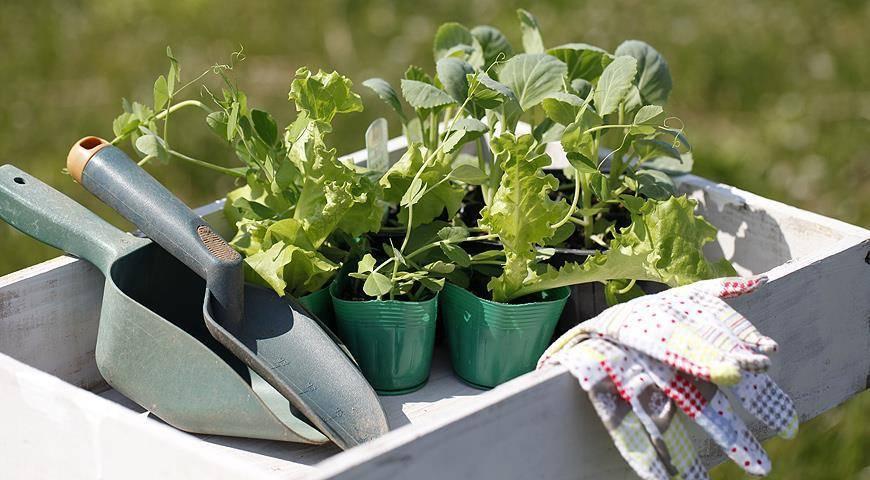 Капуста кольраби: выращивание в открытом грунте, фото, посадка и уход, посев на рассаду