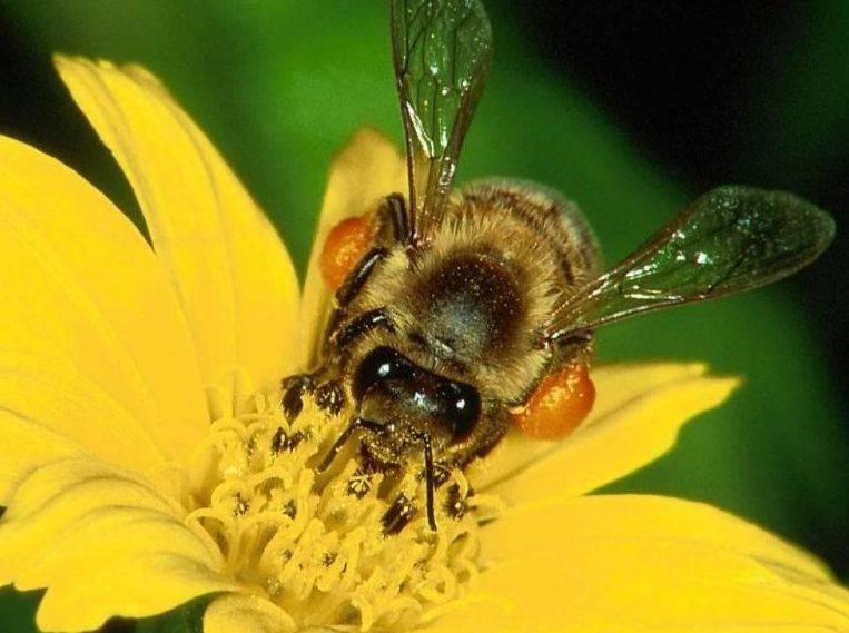 Бурзянская (башкирская) бортевая пчела