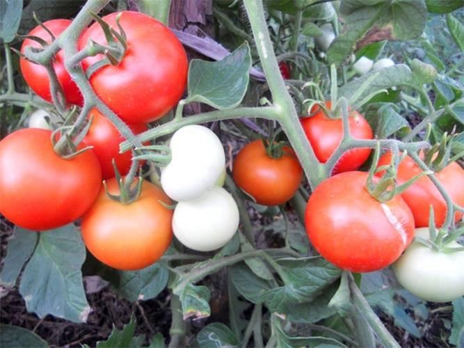 Томат ранний яблонька россии. внешние признаки, позитивные стороны, минусы, агротехнические рекомендации