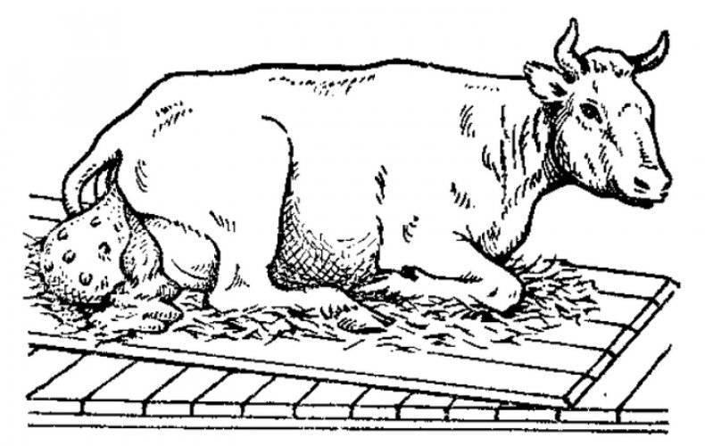 Матка у коровы: строение, функции, патологии 2020