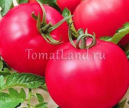 Тонкости выращивания, характеристика и описание томата малиновое чудо