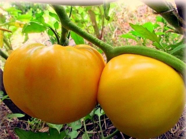 Томат гигант лимонный: характеристика и описание сорта, фото, отзывы, урожайность