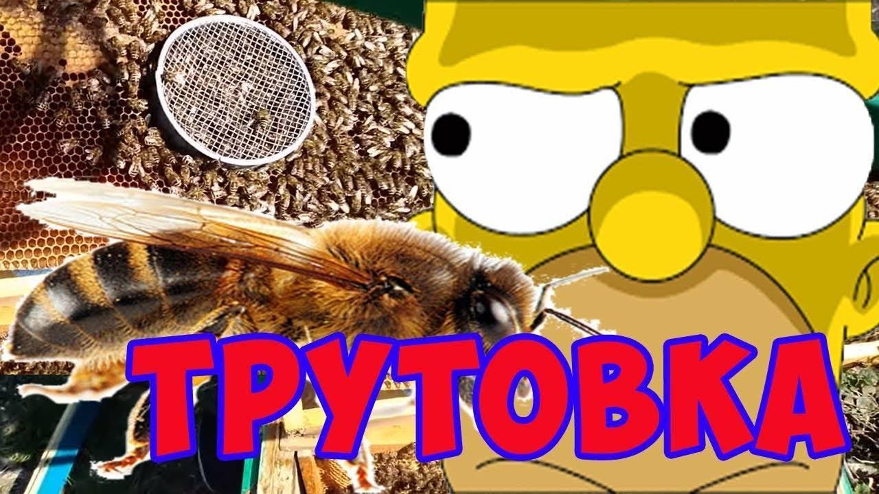 Что делать при горбатом расплоде у пчел?