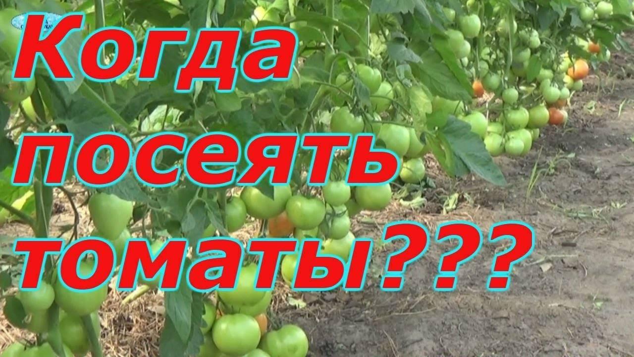 Порадует урожаем даже в неблагоприятных погодных условиях — томат «снежный барс» : описание сорта