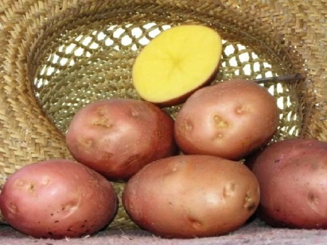 Картофель родриго — описание сорта с фото и отзывами