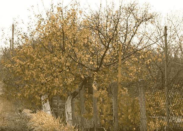 Правила посадки саженцев черешни весной