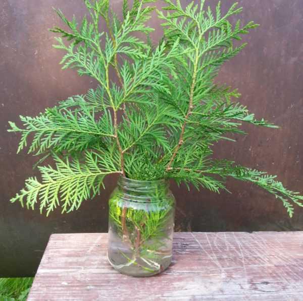 Как выращивать самшит в комнатных условиях?
