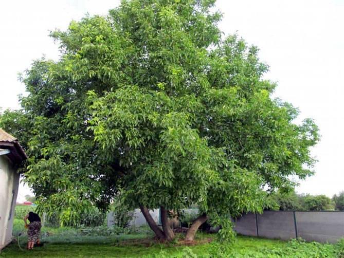 Выращивание дерева грецкий орех в своём саду