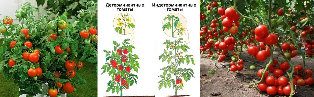Что это такое — детерминантный сорт помидор
