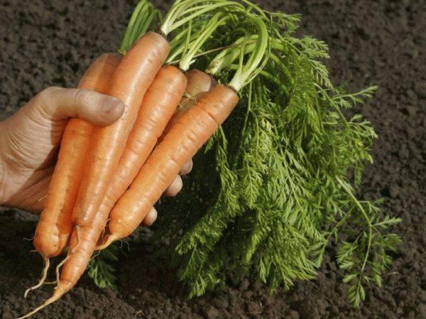 Чтобы свекла и морковь были сладкими…