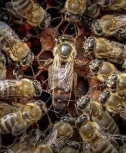 Особенности пчелы карника