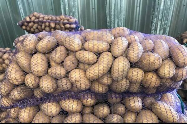 Характеристика сорта картофеля королева анна: описание и фото, выращивание, уход и другие нюансы