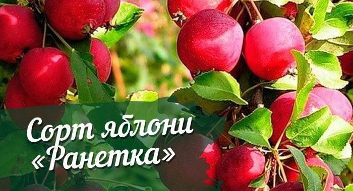 Яблоня Китайка золотая: описание, фото, посадка, отзывы